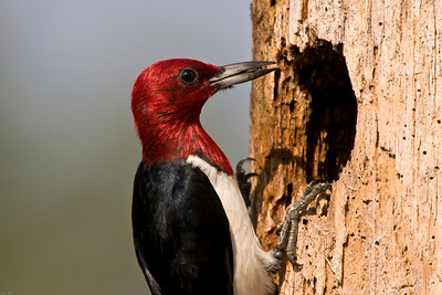Red-headed woodpecker bringing food to nest in pine snag.