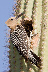 Gila woodpecker at saguaro cactus nest.