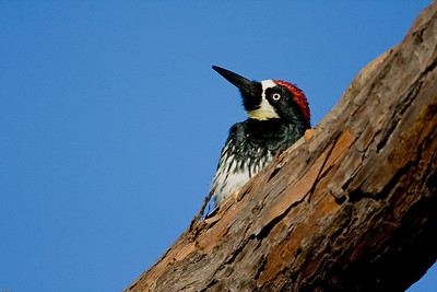 Adult male Acorn woodpecker profile.