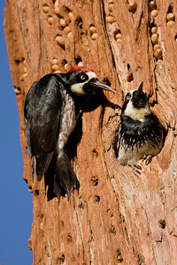 Acorn woodpecker pair in Redwood nest and granary.