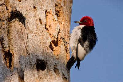 Red-headed woodpecker on pine snag.