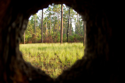 Red-headed woodpecker cavity viewed inside-out.