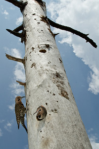 Wide angle view of a Northern Flicker nest