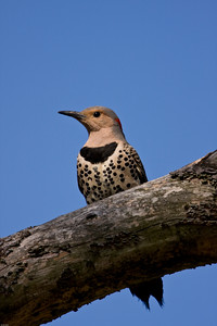 Northern Yellow-shafted flicker female portrait.