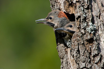 Northern yellow-shafted flicker young about to fledge from oak snag.