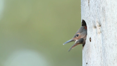 Northern Flicker nestling being fed at nest cavity