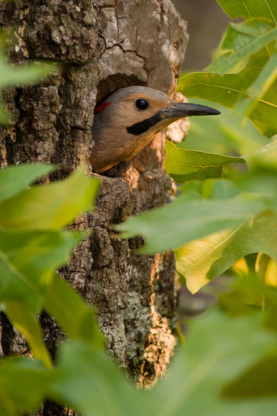 Northern yellow-shafted flicker about to fledge from oak snag nest.