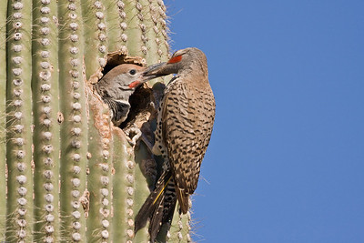 Guilded flicker feeding young in saguaro cactus nest.