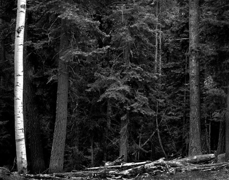 forest detail aspen pine crop