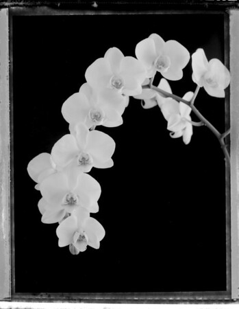 white orchid 1550