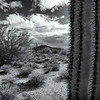 Saguaro At Close Range