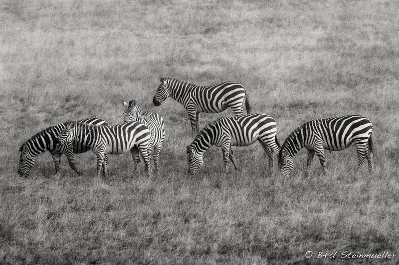 Zebras at Hwy 1