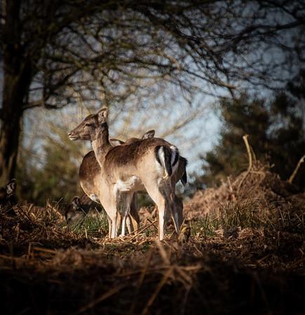 Deer and Drones