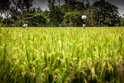 Through the rice fields to get to the forest.