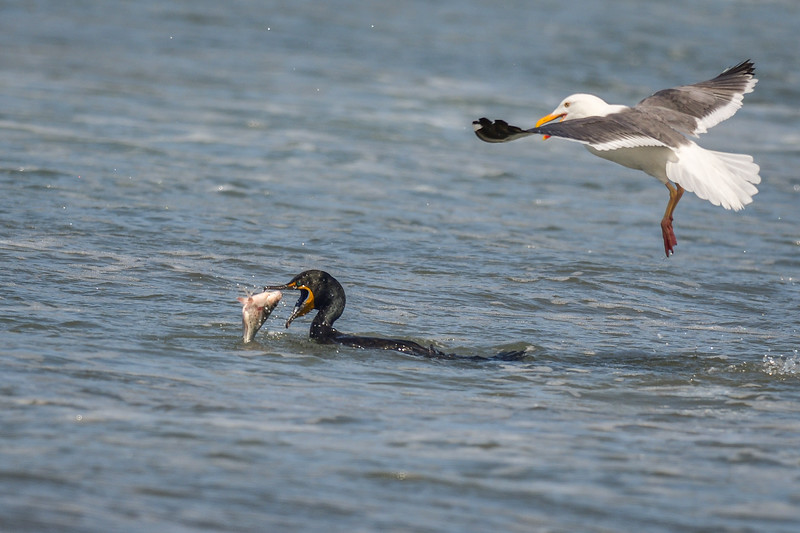 Double-crested Cormorant, Herring Gull