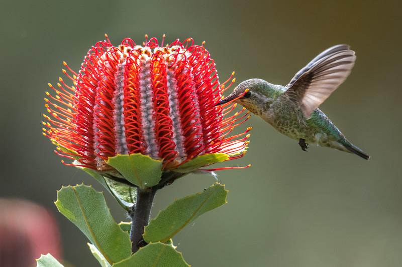 Anna's Hummingbird - Scarlet Banksia