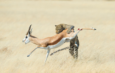 Leopard and Springbok