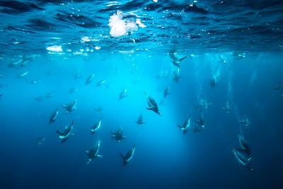 Diving Gentoos