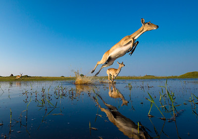 A Leap Of Lechwe