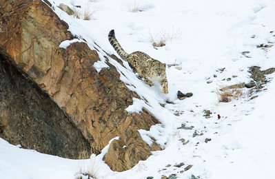 The Wild Snow Leopard
