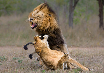 Lion Aggression