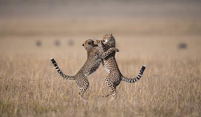 Playfull Cubs