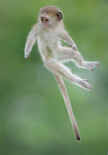 A young Vervet Monkey (Chlorocebus pygerythrus) jumps between branches photographed mid air. Okavango Delta Botswana