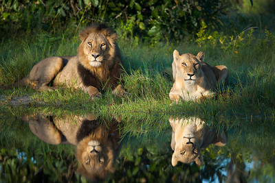 A Royal reflection of a male and female lion (Panthera leo) in the Okavango Delta Botswana