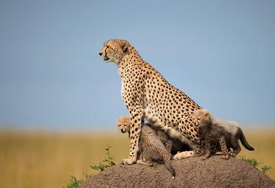 A female Cheetah (Acinonyx jubatus) and her four cubs sitting on a termite mound. Masai Mara Kenya