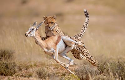 The Cheetah Chase