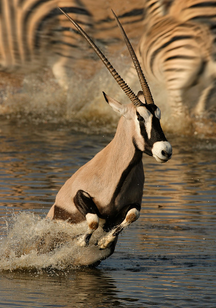 Gemsbok or Oryx (Oryx gazella) in Etosha Natioanl Park, Namibia. While standing chest deep in the waterhole this Oryx and the Zabra that were drinking behind it, get spooked and turn & run.
