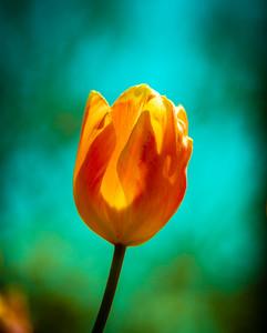 Tulip - Windsor Parkway