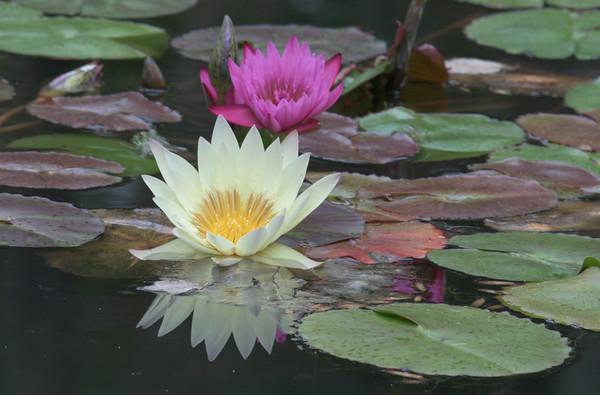 Lilies, Gibbs Gardens, Georgia