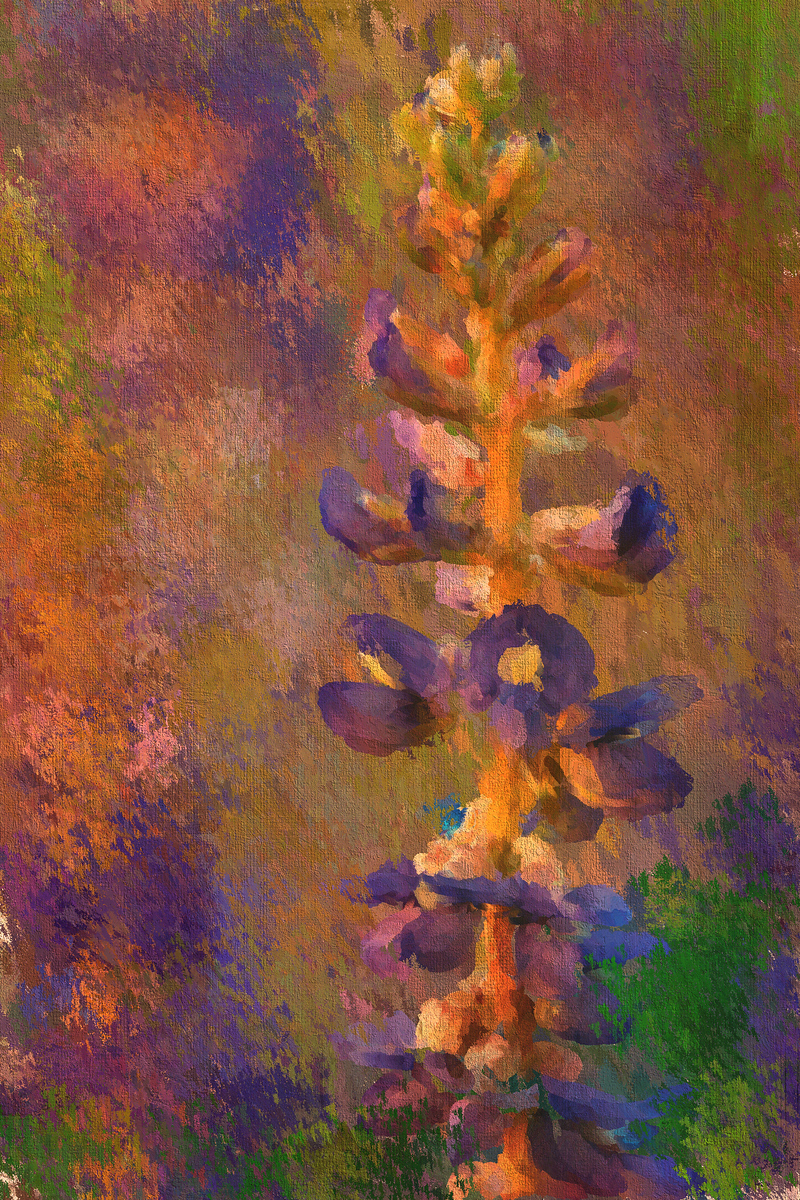 Lupine in the Sunset