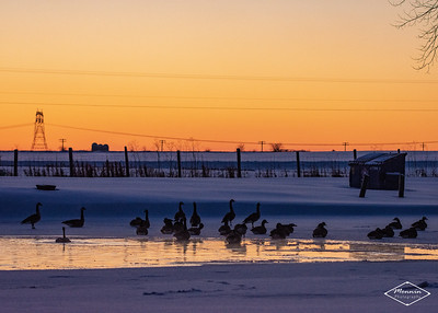 A flock of geese congregates at a small pond near Streng Rd. West of Unionville Center, OH
