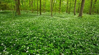 Bärlauch (Allium ursinum) im Rheinwald - Rheinauen am mittleren Oberrhein bei Rheinstetten