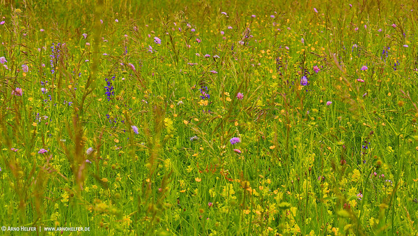 Wildblumenwiese - Deutschland Wildflower meadow - Germany  - mehr dazu im Blog: Wildblumenwiese