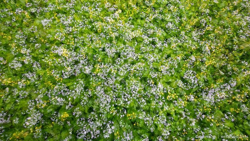 Bärlauch (Allium ursinum) und Goldnessel (Lamium galeobdolon)