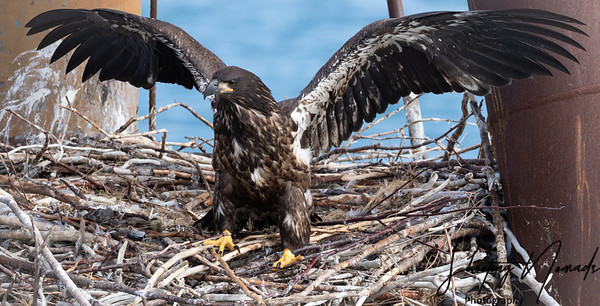 Bald Eagle of Homer Learning To Fly