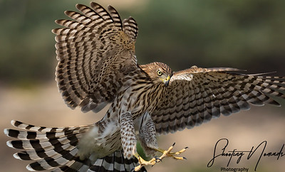 Stealth Hunter-Coopers Hawk