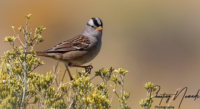 White Crowned Sparrow of Bishop, California