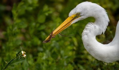 Great Egret Working The Line