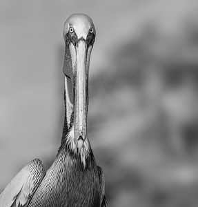 Brown Pelican (Black and White) (800)