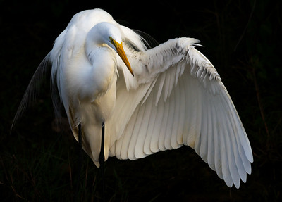 Great Egret In The Moment