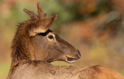 Young Elk of Cataloochee Valley