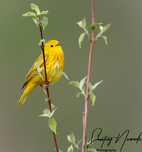 Morning Song of the Yellow Warbler
