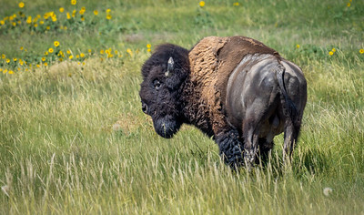 Where The Bison Roam
