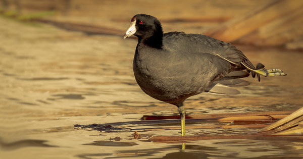 American Coot Morning Stretches