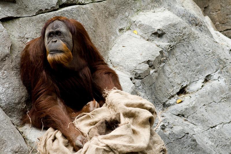Prints UnavailableAn orangutan plays with some canvas