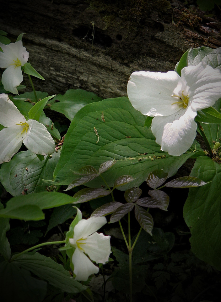 Trilliums found in Leelanau